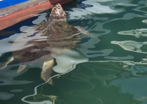 Harry the Sea Turtle, in Chania Harbour!
