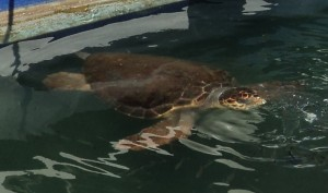Harry the Sea Turtle, on the harbour front in Chania